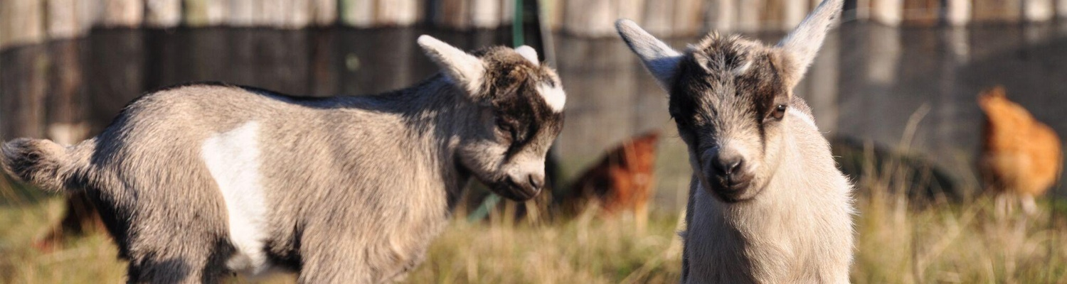 farm activities help feed the dwarf goats